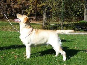 Labrador Retriever impressions