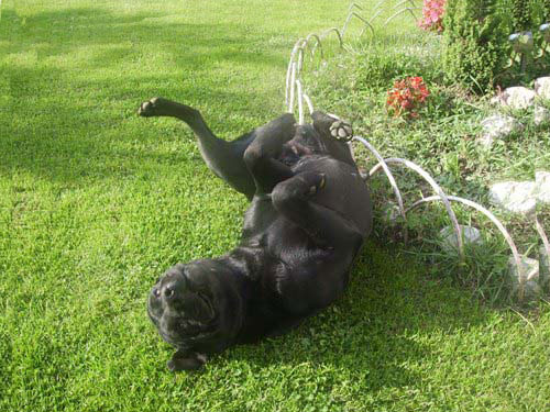 why do dogs roll in grass actually
